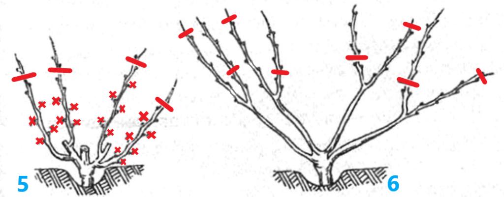 Веерная формировка винограда, третий год: 5-весна, 6-осень