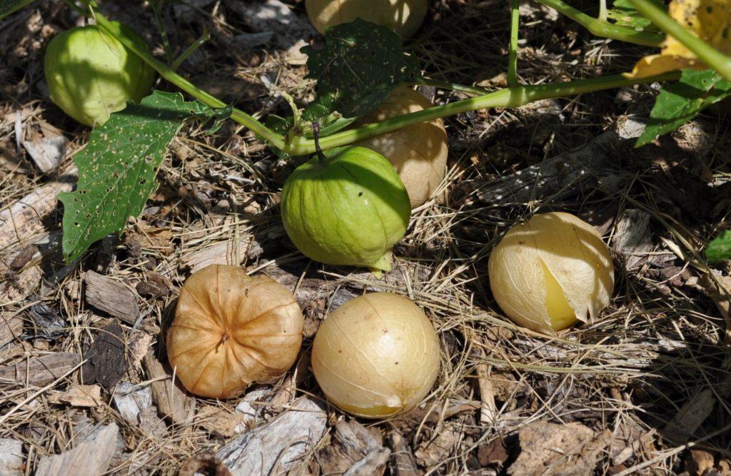 Плоды физалиса длиннолистного, Physalis longifolia.