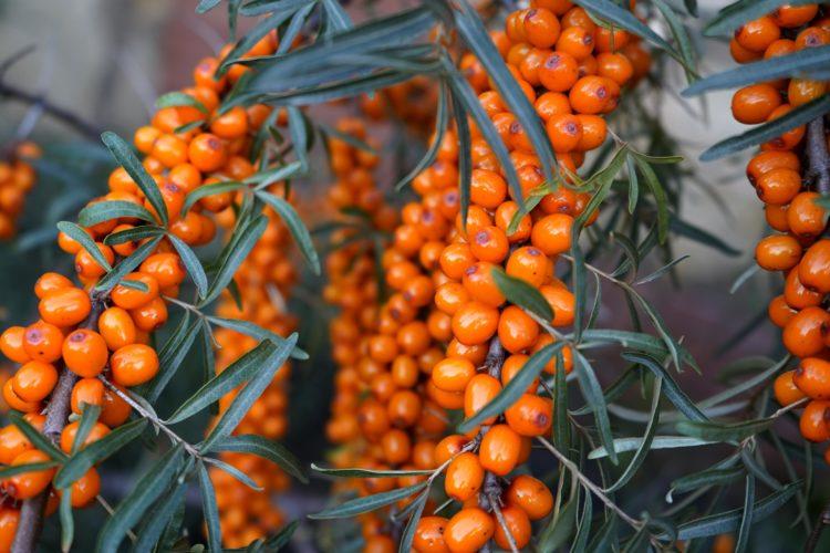 Созревшие плоды облепихи на ветке