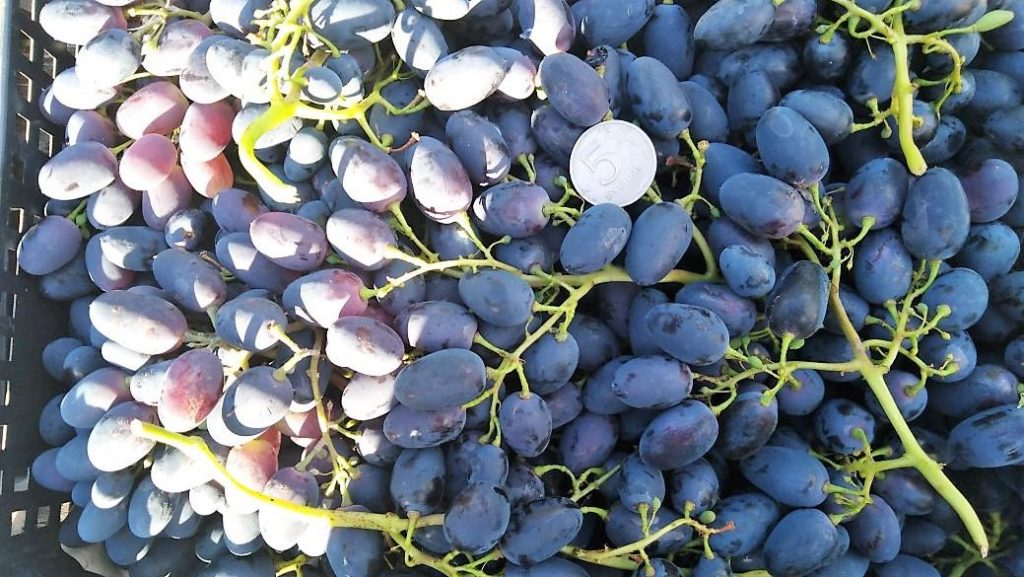 этого вида шахиня ирана сорт винограда фото и описание получилось уважительным причинам
