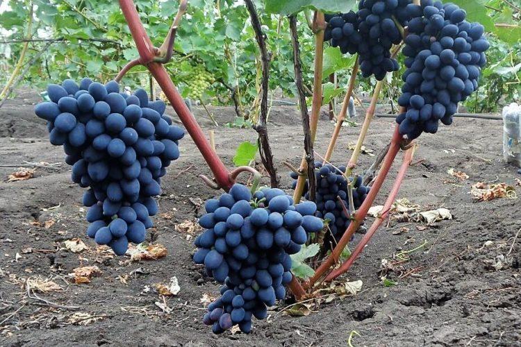 Куст винограда Кодрянка с урожаем