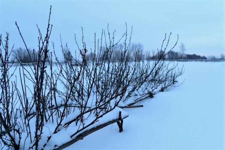 Кусты смородины зимой.