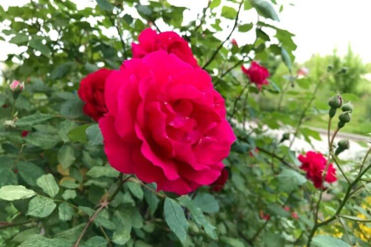 Алая роза.