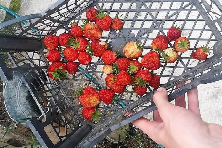 Урожай клубники с 5 кустов.