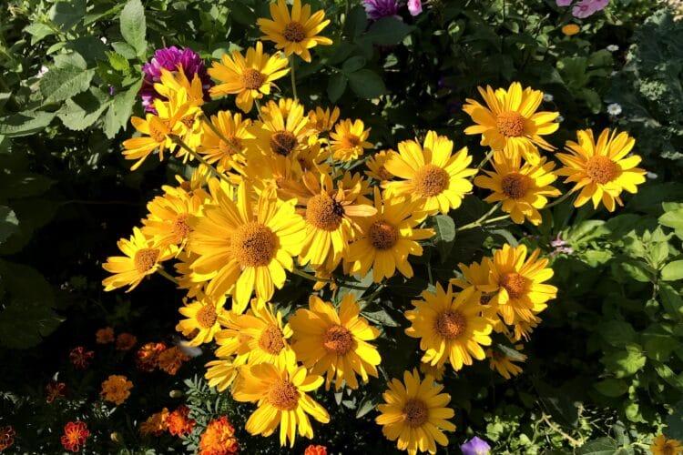 Гелиопсис цветёт в августе.