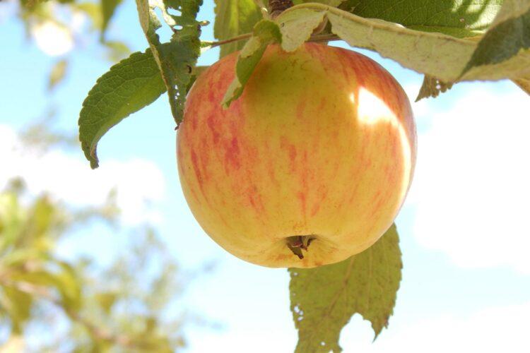 Яблоко на яблоне.