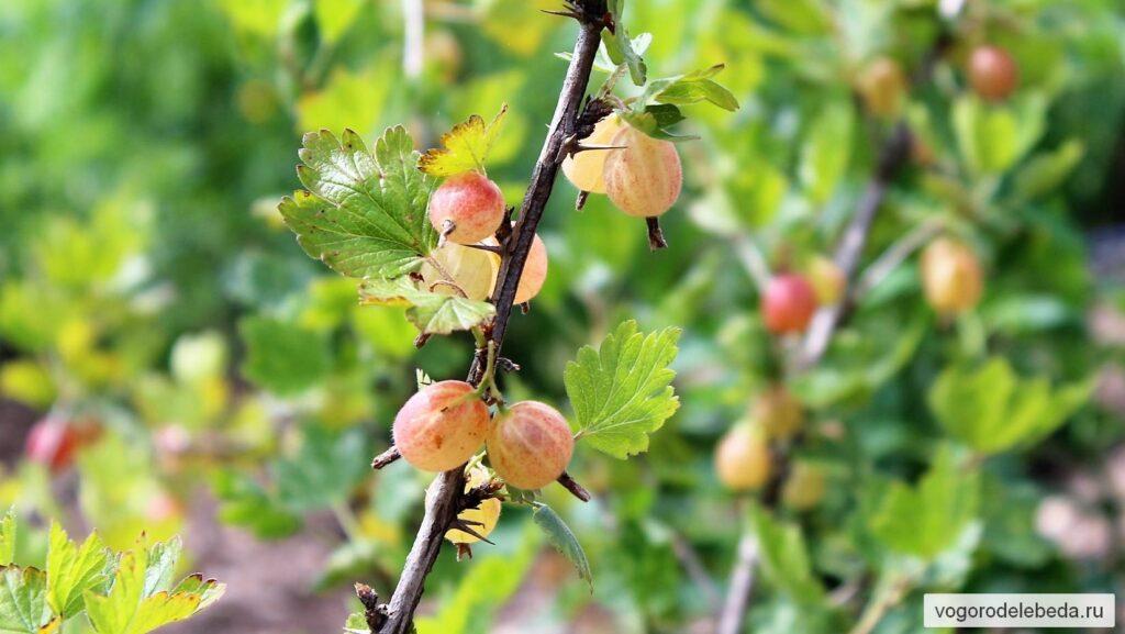 Созревающие ягоды крыжовника меняют свою окраску.