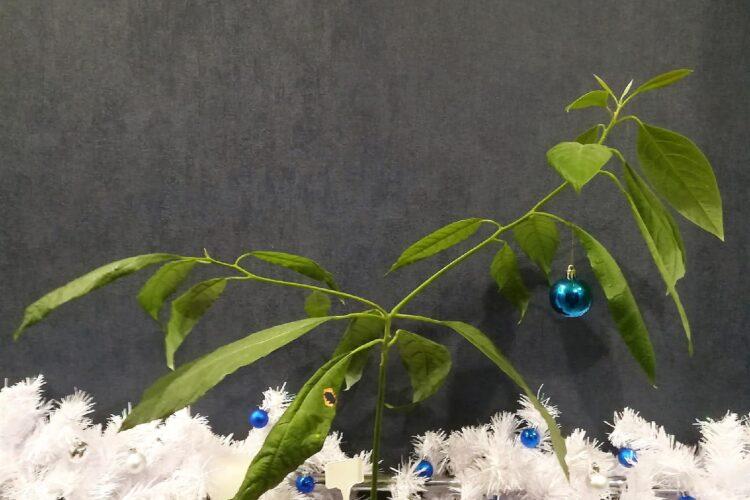 Новогодний авокадо.