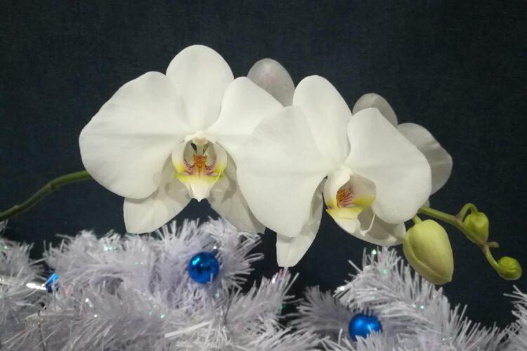 Цветущая орхидея фаленопсис.