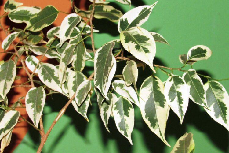 Фикус бенджамина пестролистый, Ficus benjamina variegata.