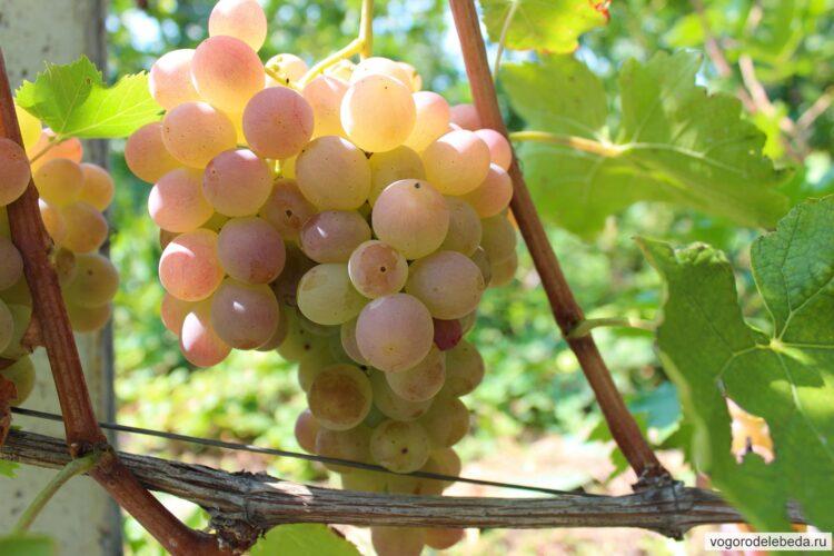 Гроздь винограда Фламинго.