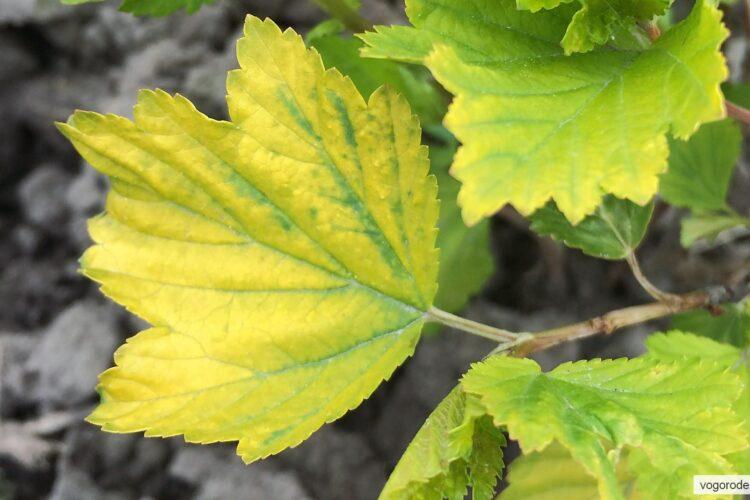 Жёлтые листья пузыреплодника калинолистного Дартс Голд являются сортовым признаком, а не следствием воздействия негативных факторов.