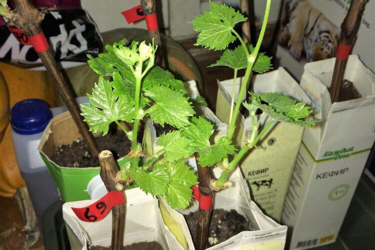 Укоренённые черенки винограда в пакетах с землёй.