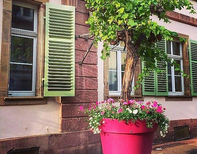 Старая виноградная лоза в большом горшке. Фото Victoria.