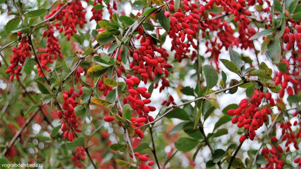 Красные ягоды барбариса обыкновенного.