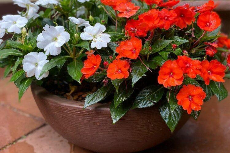 Цветущий импатиенс в кашпо. Фото Vida No Jardim