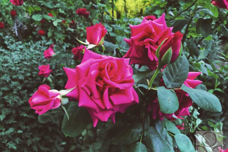 Розы в июне уже цветут.