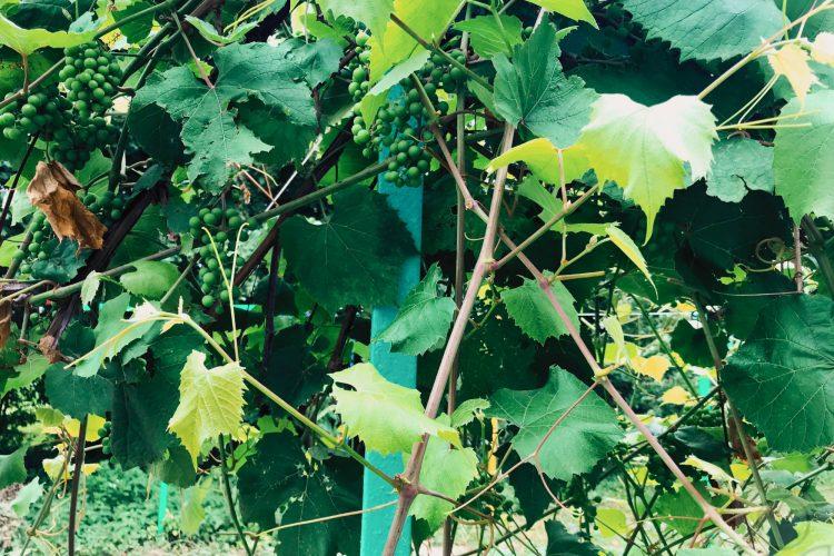 Пасынки винограда - боковые побеги со светло-зелёными листьями.