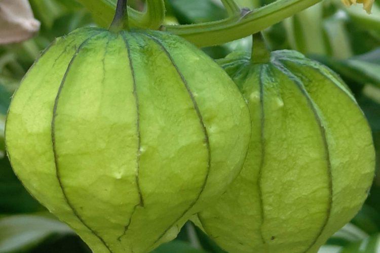 """Плоды физалиса овощного тоже находятся в """"фонариках""""."""